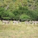 Zebras! I finally felt like I was in Africa.