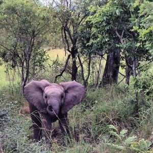 This baby elephant was a sassy little fellow who came right up to the Land Rover.