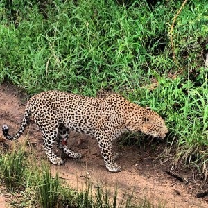 It was amazing getting close to animals like this leopard at Sabi Sands.
