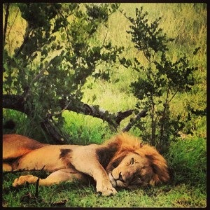 One of the lions dozing during his afternoon nap.