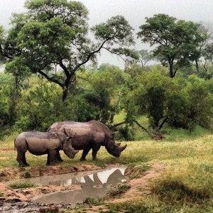 The rhinos didn't seem to mind the rain.