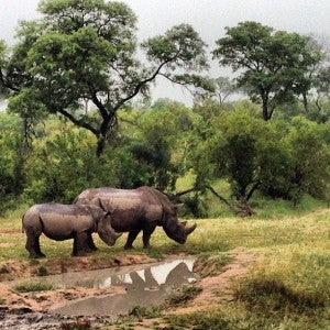The rhinos didn't seem to mind the rain.