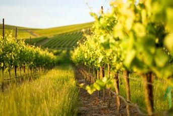 Sonoma Valley Vineyards