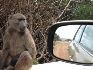 Driving by a rambunctious baboon