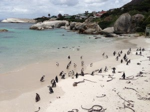 A beach full of penguins!
