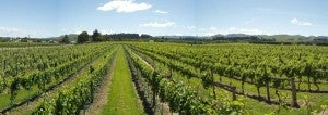 You'll forget all about Marlborough once you try the Pinot Noirs from Martinborough. Photo courtesy of Margrain Vineyard.