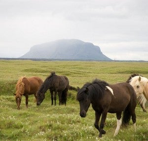 """Icelandic horses are famous for their sturdy nature and unique """"flying pace."""""""