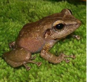A Coqui frog is among the unique wildlife found in the El Yunque National Forest.