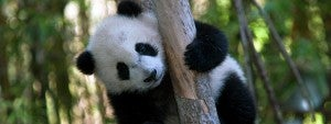 Your kids will fall in love with cute animals like this panda at the San Diego Zoo