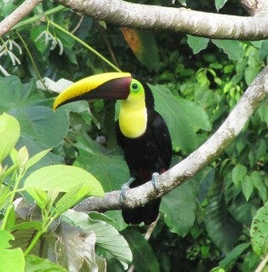 Toucans can be seen in many Guanacaste parks