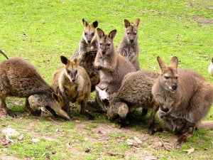 Wallabies at Gorge Wildlife Park