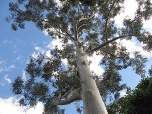 Enormous eucalyptus tree in the Adelaide Botanic Gardens