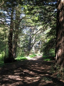 Redwood grove in Golden Gate Park