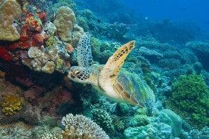 Green turtles are common at Mabul in Malaysian Borneo