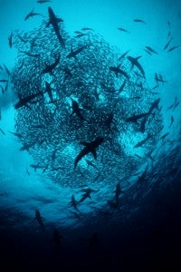 A swirl of hammerheads at Costa Rica's Alcyone, off Cocos Island