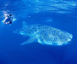 Whale shark, anyone? You'll find them at Nigaloo Reef along Australia's Coral Coast