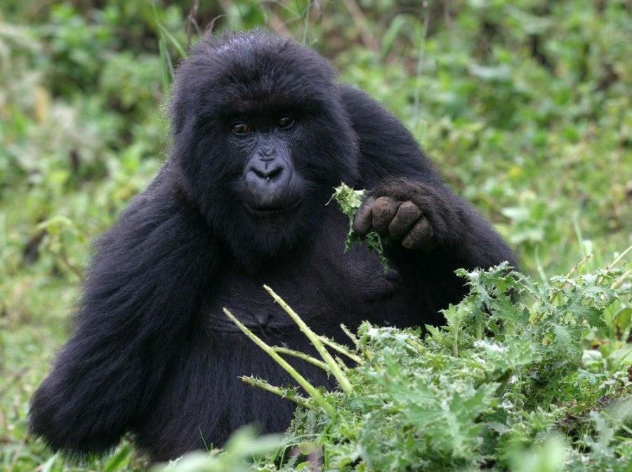 Spot these lovable giants in Rwanda. Photo courtesy of Shutterstock.