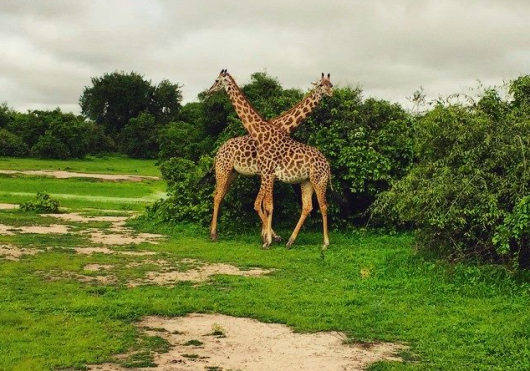 Uniquely patterned Thornicroft giraffes in Zambia's South Luangwa National Park. Photo credit: Eric Rosen.