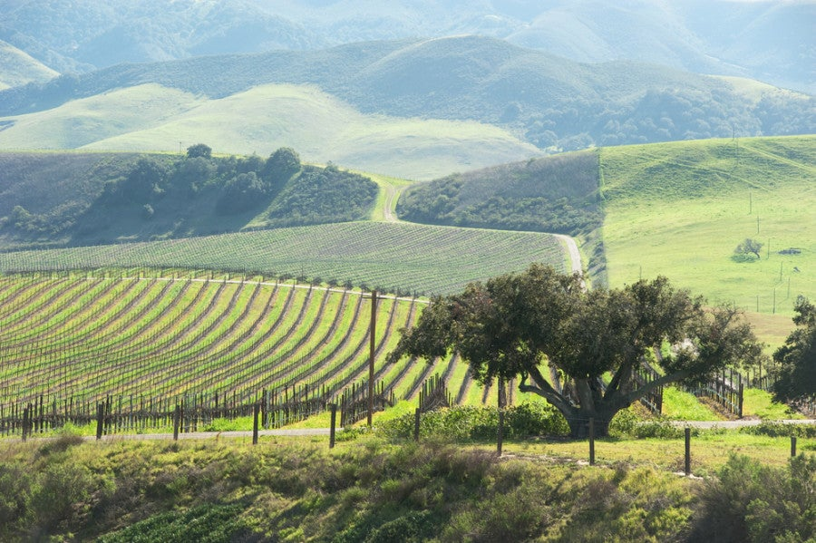 Vineyards on the rolling hills of Paso Robles. Photo courtesy of Shutterstock.