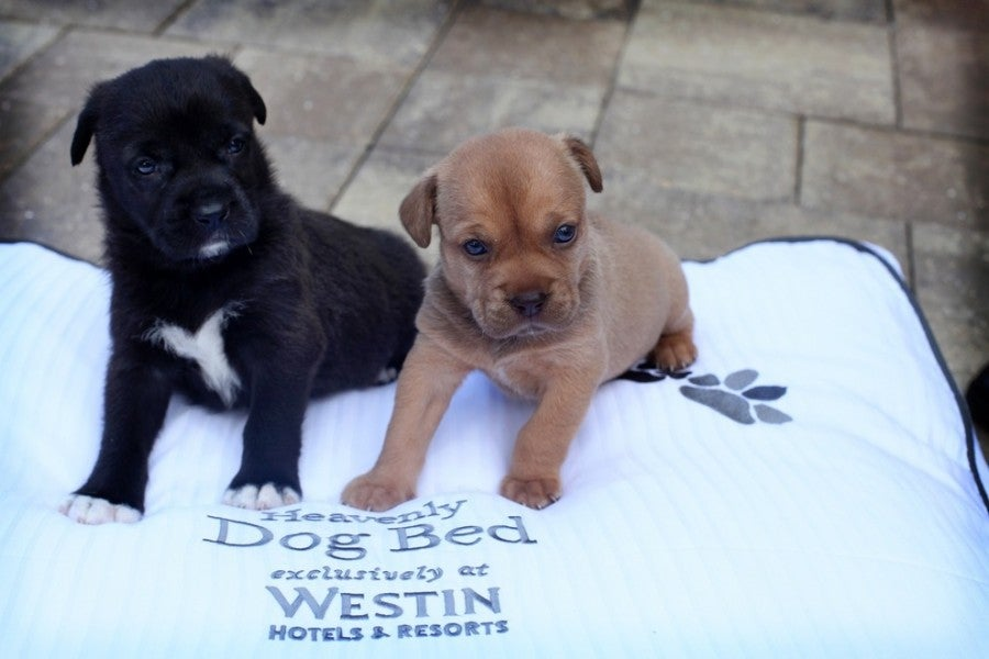 At The Westin La Paloma in Tucson, your pet gets its own Westin Heavenly Dog Bed. Photo courtesy of Westin.