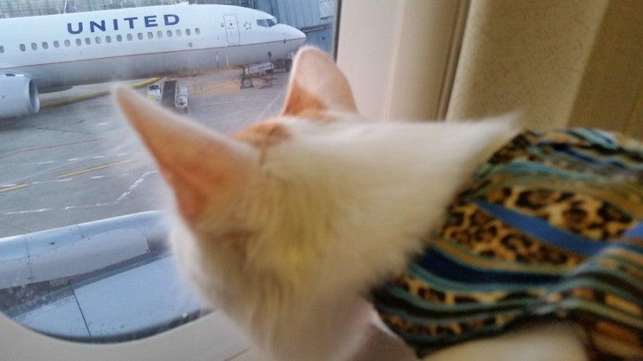 Sedating a cat for flight
