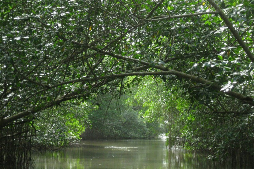 caroni swamp Caroni swamp the caroni swamp is the second largest mangrove wetland in trinidad and tobago it is located on the west coast of trinidad , south of port of spain and northwest of chaguanas , where the caroni river meets the gulf of paria.